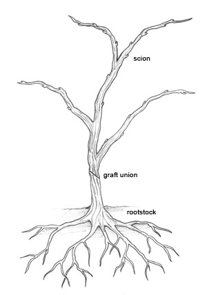 Grafted_vine